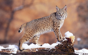 lynx, snow, winter