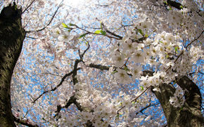 cherry, bloom, trunks, branch, branch, Flowers, sun, light, spring, nature