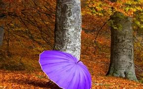 осень,  дерево,  зонтик,  цвет,  сиреневый