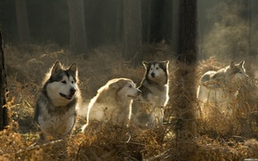 Wolves, forest, pack