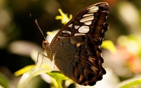 borboleta, macro, ver