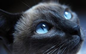 gatto, vista, occhi