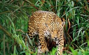 leopardo, erba, gatto, caccia