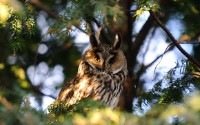 atthis, owl, branch, Trees, nature