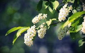 черемуха,  весна,  природа,  ветки