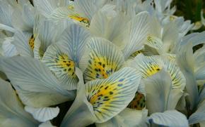 Iris, doucement, Ptales