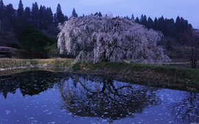 sakura, water, evening, Japan