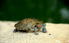 черепашка,  черепаха,  малыш