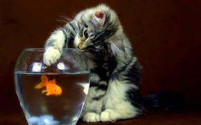 кошка,  котенок,  аквариум,  рыбка,  золотая,  ловит,  лапа