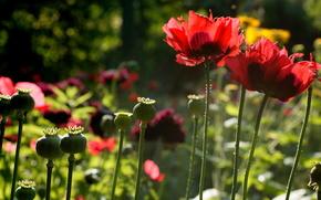 Poppies, summer, nature