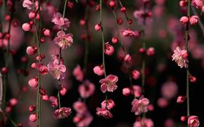 Flores, ramo, sakura, buds