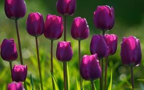 Tulipani, porpora, aiuola