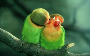 Pappagalli, coppia, amore