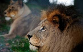 leone, natura, estate