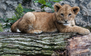 lion, nature, summer