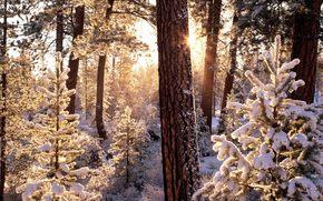 зима, лес, снег, деревья, ели, солнце, лучи, иней