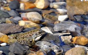 rana, acqua, natura