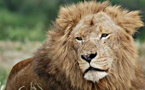 лев,  старость,  природа