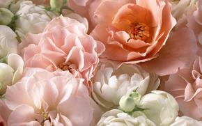 розы, чайная роза, розовый, лепестки, макро