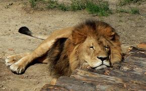 leone, zoo, natura