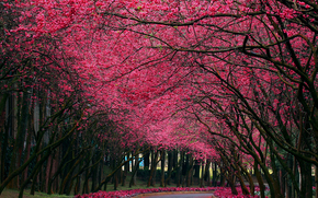 nature, park, alley, sakura, color, spring