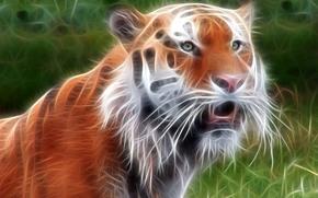 зверь, обработка, тигр
