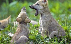 малыши, игры, волчата