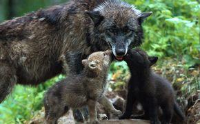 волки, малыши, волчата, любовь, нежность, забота