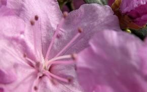 fleur, rose, tendre, Macro