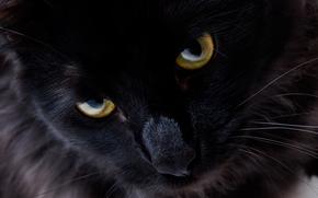 черный кот, cat, eyes, view