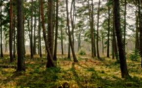 foresta, alberi, natura, boschetto
