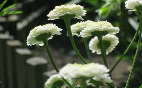 花卉, 白, mohrovye, peretrum