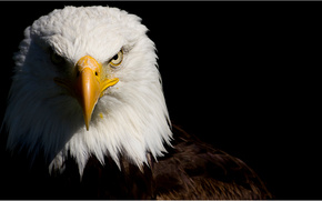 eagle, formidable, view