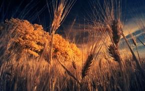 поле,  колосья,  трава