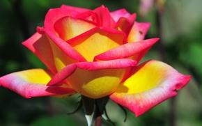 rose, flower, petals