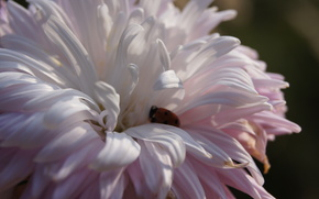 aster, coccinelle, doucement