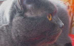 gatto, fumoso, Inglese