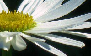 цветок, белый, ромашка, садовая