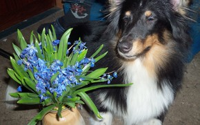 собака, красавица, шелти