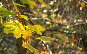 maple, morning, autumn