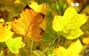 осень, желтый, желтые листья, передний план