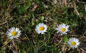 Camomilla, fiori, primavera