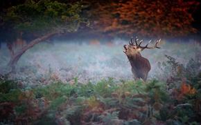 Forest, Elan, deer