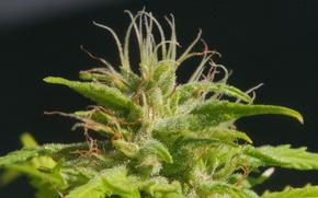 растение,  макро,  зелёное