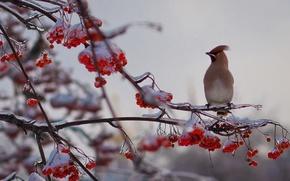 рябина,  красные,  ягоды,  снег,  птица