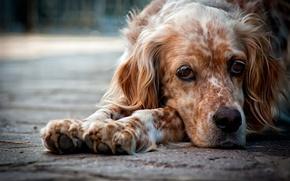 dog, is, view, sorrow, depression