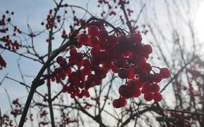 autumn, viburnum, Berries, red, branch, naked