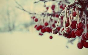 зимние,  ягоды,  зима,  снег