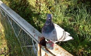piccione, uccello, situazione