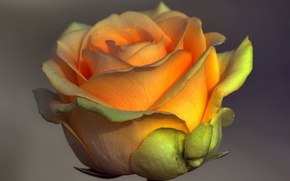 роза,  чайная,  фон
